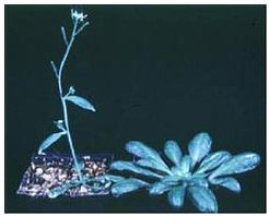 <em>Arabidopsis flowers much earlier under long than short days. Wild-type Arabidopsis plants growing under long (left) and short (right) days.</em>