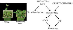 <em>The photoperiod pathway promotes flowering in response to long days. Study of early and late-flowering mutants defined interactions between genes that promote flowering in response to long days.</em>