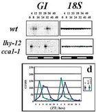 <em>LHY and CCA1 are required for the proper timing of daily rhythms in flowering time gene expression. The daily rhythm in GIGANTEA mRNA expression is altered in the lhy cca1 double mutant.</em>