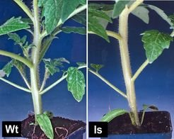 <i>Fig. 2: Comparison of tomato wildtype (2a) and lateral suppressor (2b) leaf axils. In wildtype plants a lateral shoot is found in each leaf axil. These are missing in the axils of the ls mutant.</i>