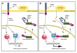 <i>Nuclear action of MLA links effector-specific and MAMP-triggered immune responses</i>