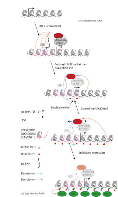 <p>Figure 1. Polycomb Repressive Complex 2 (PRC2) is recruited either by the action of DNA-binding transcription factors, ncRNAs or other mechanisms. PRC2 contains an HMTase that tri-methylates lysine 27 of H3 (H3K27me3). Starting from an H3K27me3 nucleation site, which is linked to a PcG-recruiting region, the H3K27me3 spreads to flanking regions because the PRC2 recognizes its own target modification and is further activated by binding to the modified H3. Polycomb Repressive Complex 1 (PRC1) is recruited by H3K27me3 and further modifies chromatin by ubiquitination of lysine 119 (or related positions) of H2A (H2AK119ub) through two components that contain RING domains. H2AK119ub is important for chromatin compaction and subsequent gene repression.</p>