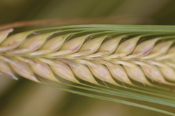 Drought adaptation and flowering time control in barley (Maria von Korff)