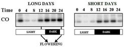 <i>In wild-type plants CO promotes flowering under long but not short days. Activation of CO function in long days is proposed to be due to co-incidence between the time of expression of CO and exposure to light under long but not short days.</i>