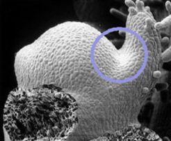 <i>Fig. 1: Scanning EM image of a tomato apex. Leaf primordia are visible as bulges at the flanks of the dome like structure. In the axils of leaf primordia (blue circle) lateral buds will be formed.</i>