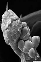 Flower primordia are initiated on the flank of an inflorescence apical meristem (SEM)