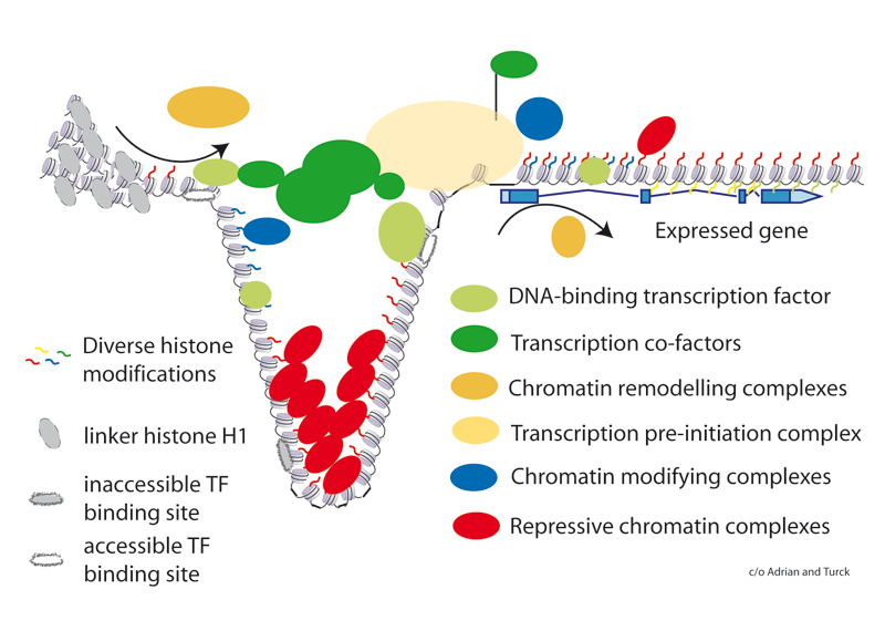 Figure 1. Schematic representation of a gene controlled by multiple factors. Several DNA-binding transcription factors and their co-factors (diverse shapes of green) participate in recruiting the pre-initiation complex (orange) to the transcription start site. Chromatin acts as a general transcription barrier, which needs to be temporarily removed by chromatin remodeling complexes (brown) that open the chromatin. Chromatin remodeling complexes are recruited by transcription factors, which in turn may require prior chromatin remodeling to reach their target sites. Protein complexes that reinforce the chromatin barrier (blue and red) to transcription are embedded in transcriptional regulatory networks. One possible role of repressive chromatin is to block access to hidden transcription factor binding sites. A second role can be the participation in setting up a molecular memory.