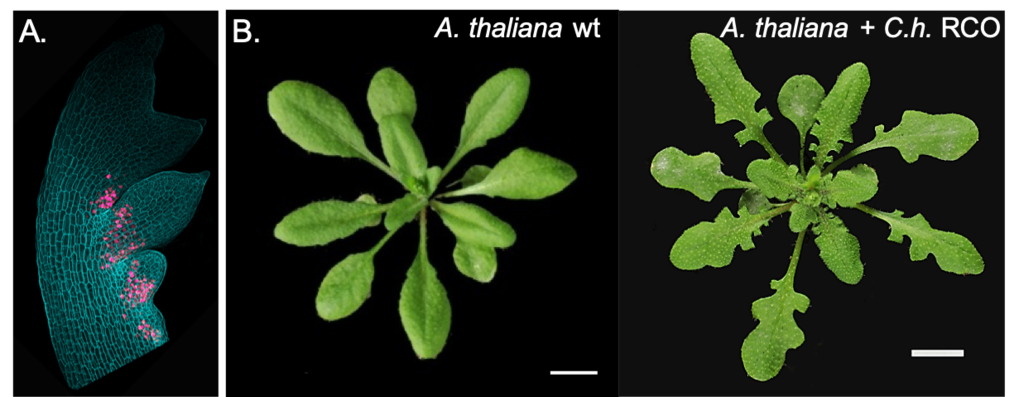 Expression of a reporter gene for the SHOOTMERISTEMLESS (STM) homeobox gene in A.thaliana vs C. hirsuta apices. STM is expressed in the shoot apical meristem of both species and the leaf base of C. hirsuta (Left) but not A. thaliana (Right). This difference in gene expression arises through regulatory divergence in STM upstream regulatory sequences and contributes to the different leaf forms of the two plants.