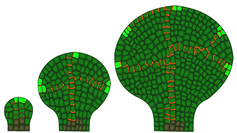 Transport-feedback model of auxin transport on a growing leaf. Growth creates space in the leaf margin for new auxin convergence points to emerge, which initiates new veins in the leaf lamina. See Smith and Bayer 2009