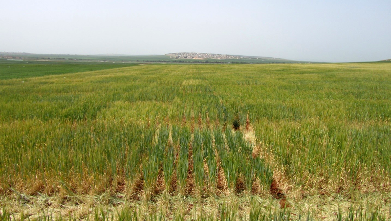 <p>Figure 2: Field trial of a barley recombinant inbred line population derived from a cross between the Syrian landrace Arta and the Australian cultivar Keel in Syria. The population is segregating for growth type as determined by variation at <em>Vrn-H1</em> and <em>Vrn-H2.</em></p>