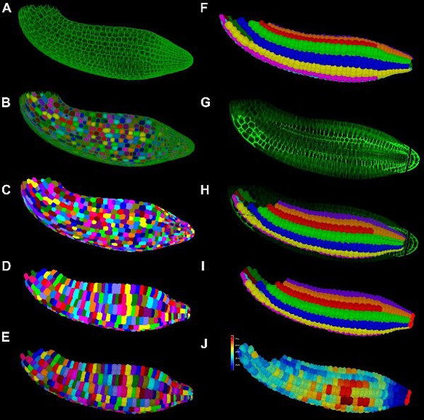 Workflow of 3D segmentation and cell classification in an Arabidopsis thaliana mature embryo. Published in Bassel et al. 2014, PNAS