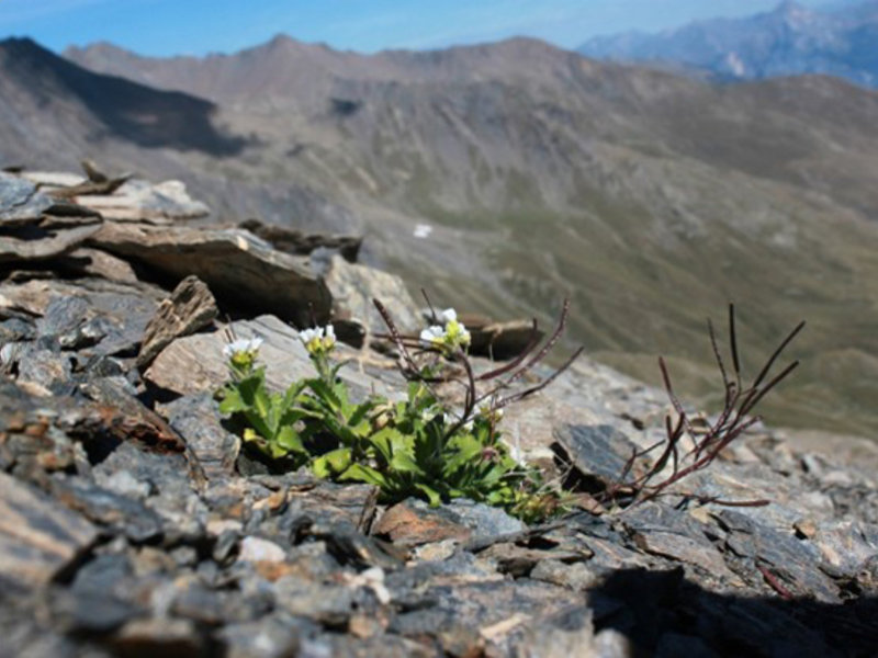 Perennial Arabis alpina growing in a natural population in the French Alps.