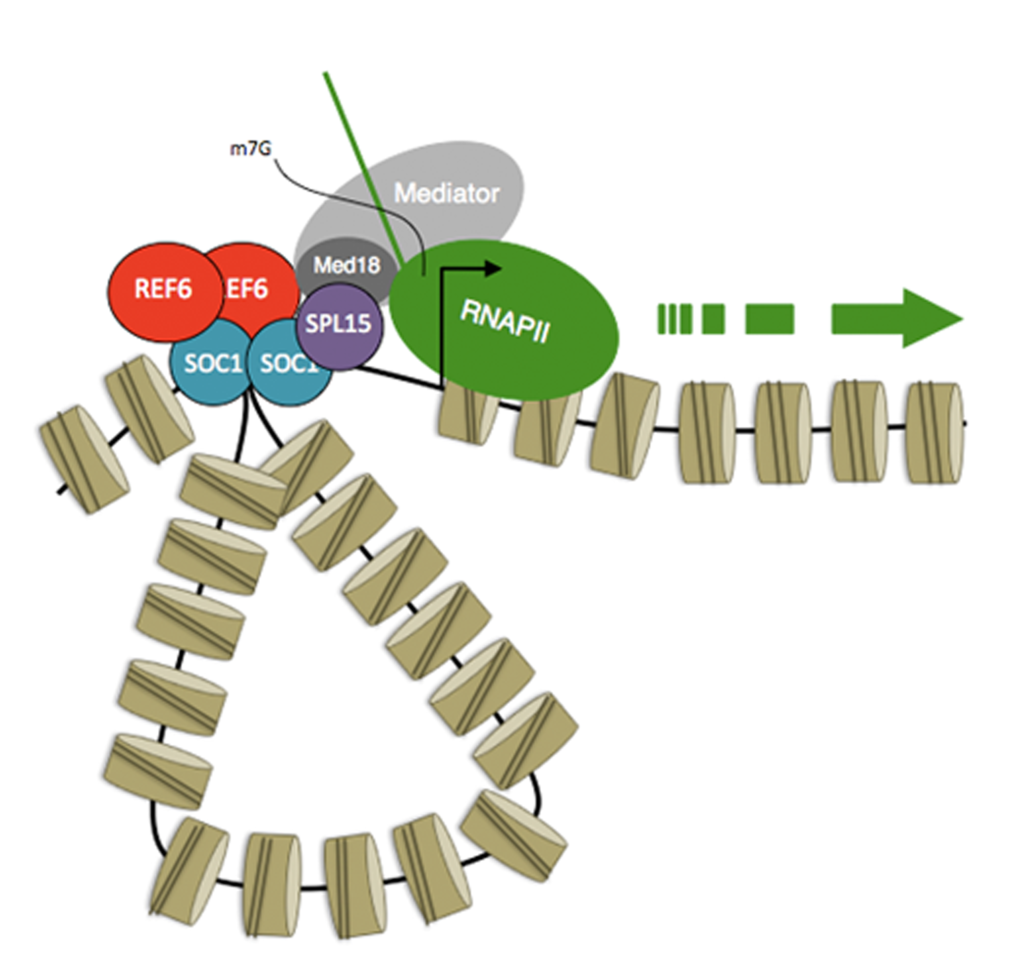 Model for activation of transcription by SPL15. SPL15 acts in a protein complex with the MADS box transcription factor SOC1 to activate transcription of target genes.