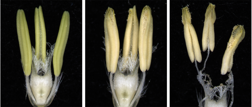 Barley florets before anthesis and during synchronized maturation of reproductive organs. Anther dehiscence coincides with the beginning of stamen filament elongation. By the time stamens reach maximum length pistil self-pollination has occurred.