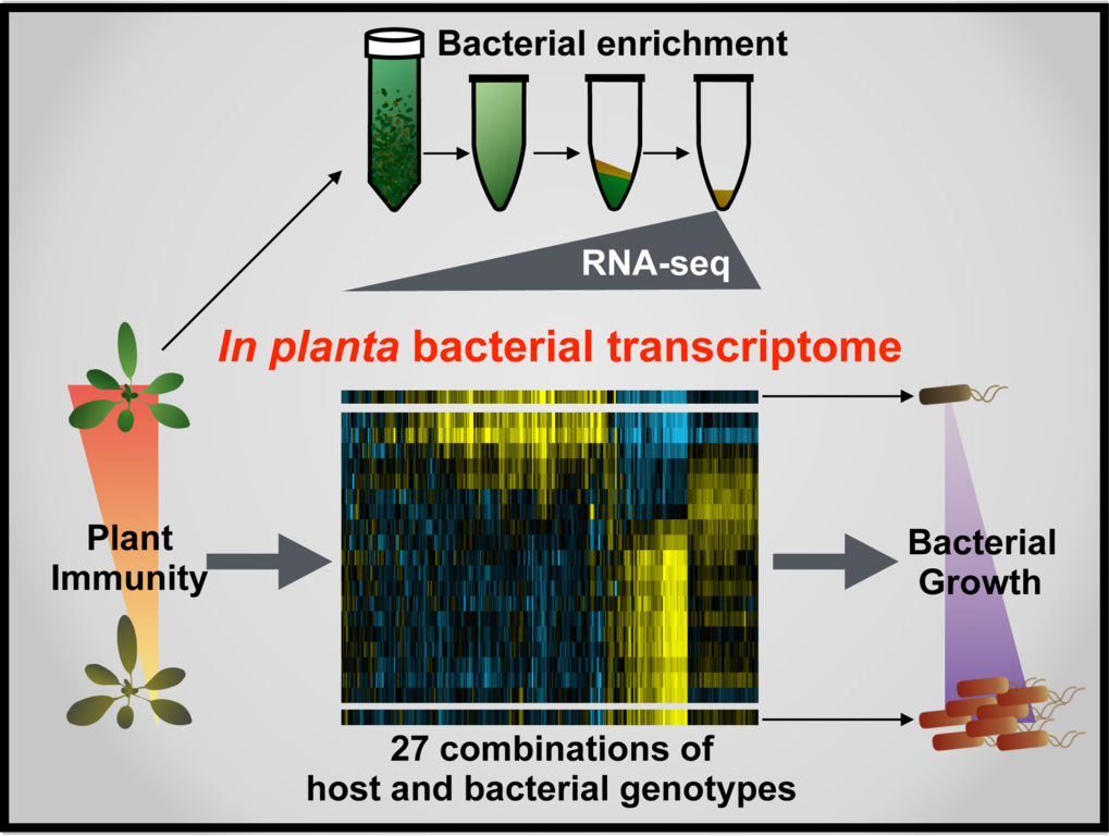 A team of researchers from Germany and the US led by Kenichi Tsuda at the Max Planck Institute for Plant Breeding Research (MPIPZ) in Cologne have now developed a method that can be used to probe the complexity of plant-bacteria interactions.