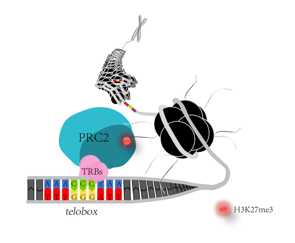 <p>Polycomb repressive complex 2 (PRC2) catalyses the methylation of a specific histone residue (H3K27me3), which serves as epigenetic mark for chromatin compaction. TRB proteins interact with subunits of Arabidopsis PRC2. TRBs also bind a nucleotide sequence motif that is related to plant telomere repeats (telobox). Through this interaction with both, teloboxes and PRC2, TRBs control epigenetic repression of genes involved in floral development.</p>