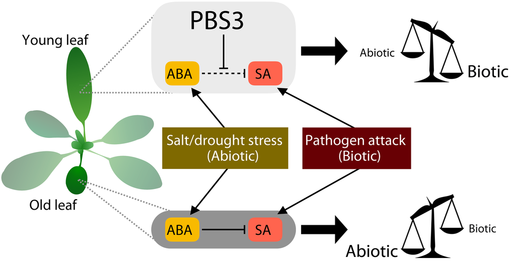 PBS3 protects young rosette leaves from ABA-mediated immune suppression, tilting the scales in the direction of enhanced pathogen resistance. In older leaves, this effect is lost, and immunity is dampened.