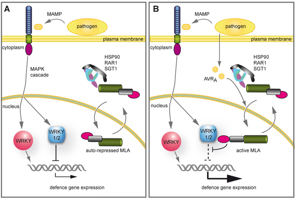 Nuclear action of MLA links effector-specific and MAMP-triggered immune responses