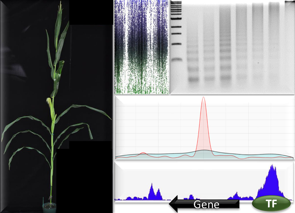 Natural variation can be a powerful tool to understand chromatin structure and gene regulation, and has enormous potential to improve crop yield.
