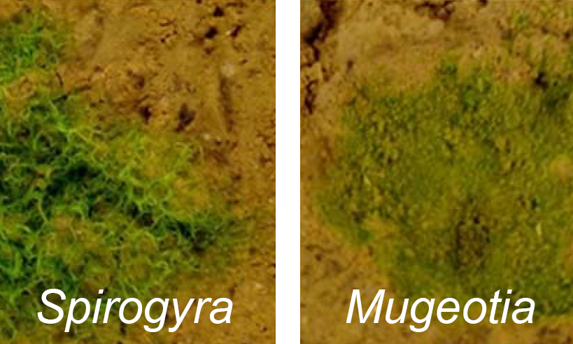 "Around 500 mya the ancestors of Zygnematophyceae algae, the sister lineage to land plants that gave rise to embryophytes, moved from water to land. The adaptation of plants to dry and nutrient poor terrestrial habitats was facilitated by evolutionary innovations enabled by transforming cellular transcriptional programs and gene functions driven by the expansion of gene families followed by sub- or neofunctionalization of some of their family members. In this proposed project we will analyze the evolutionary relationship and functional roles of aset of transcription factors which are specifically present in genomes of Zygnematophyceae species and land plants. Genes encoding members of the GRAS protein family increase resistance to biotic and abiotic stresses in land plants, in particular desiccation. They originated or expanded in the common ancestor of Zygnematophyceae and embryophytes. Moreover, GRAS-like sequences were only found in embryophytes, Zygnematophyceae, and bacteria, suggesting that GRAS proteins in plants evolved through horizontal gene transfer from bacteria. GRAS proteins are also required for the development of the arbuscular mycorrhizal symbiosis (AMS) which is an intimate association between soil fungi and roots of most land plants. The AMS is thought to have played a crucial role in the initial colonisation of land by plants and to date this symbiosis mitigates environmental stress and fascilitates uptake of water and nutrients in mycorrhizal roots. We hypothesize that a ""GRAS regulatory network"" is involved in the adaptation to environmental stress in Zygnematophytes. It could thus be that GRAS proteins protected ancestral algae from drought and/or nutrient deprivation and were later recruited for AMS development in land plants."