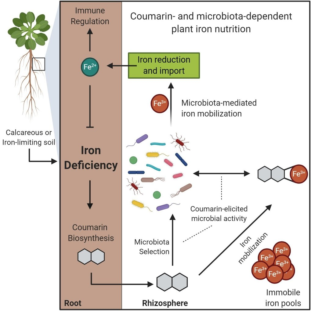 <p>Hungry plants rely on their associated bacteria to mobilise unavailable iron</p>
