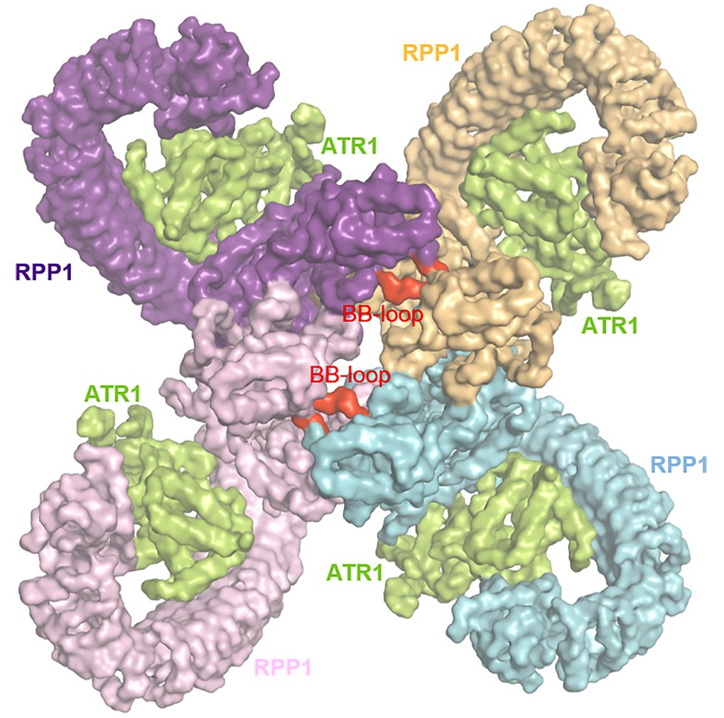 A plant immune receptor: it takes four to tango